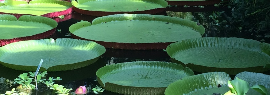 large lily pads on water giving impression of stepping stones